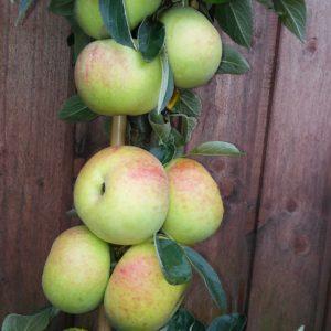 Säulenäpfel