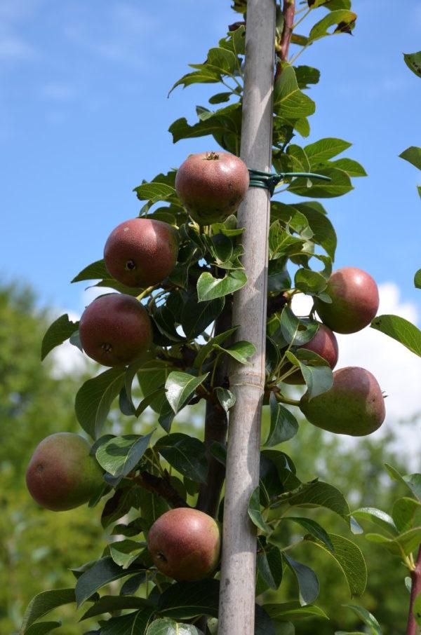Früchte der Säulenbirne Decora - die aromastarke Birne