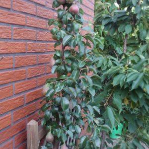 Säulenbirne Decora - die aromastarke Birne