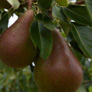 Säulenbirne Clapps Liebling Früchte