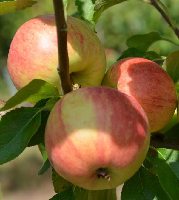 Säulenapfel Elstar Früchte