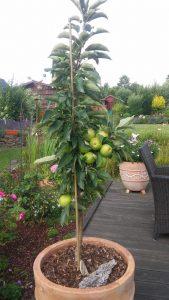 Säulenapfel als Taufbaum im Kübel