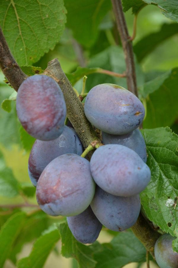 Säulenzwetschge Fruca - Früchte